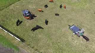 Image of a birds eye view of a herd of cows