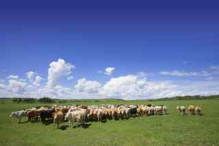 Image of a herd of cows