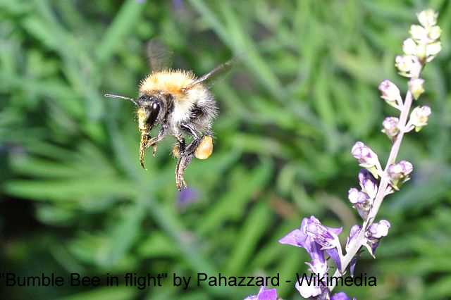 Genomics is taking the sting out of the bumblebee's uncertain
